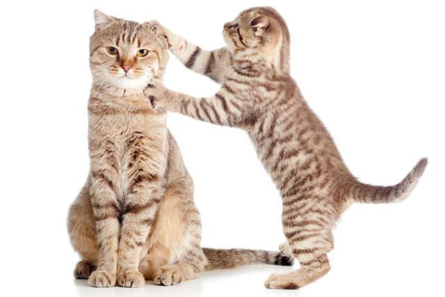 親猫で爪とぎする子猫